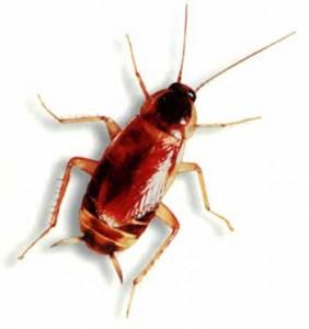brownbandedroach