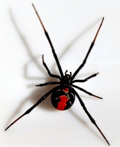 red-back-spider