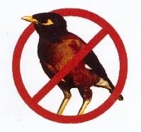 Indian_Myna_Bird