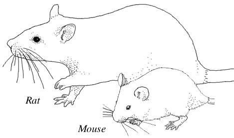 RatMouse