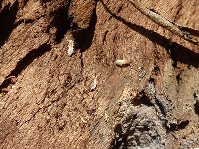 Termites on tree