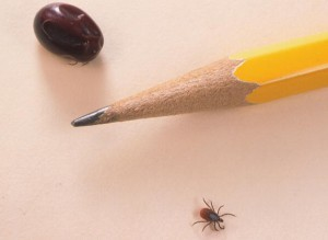 Close Up Of An Engorged Nymph And An Engorged Adult Tick Is Compared June 15 2001 To A