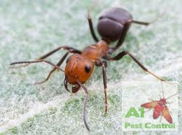 argentine ant with logo