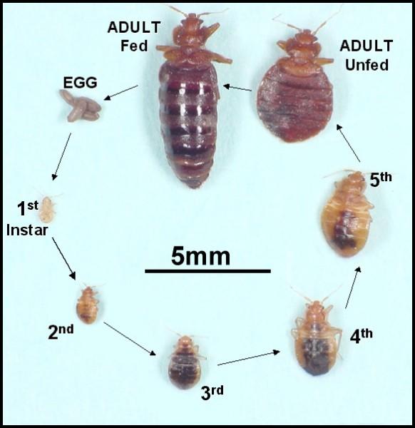 bed_bugs_factsheet