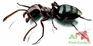 Queen Ant Size Comparison