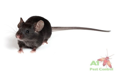 black rat with logo