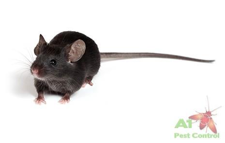 black rat with logo
