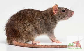 brown rat with logo