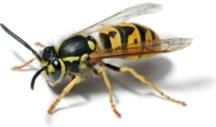 european-wasp