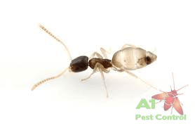 ghost ant with logo