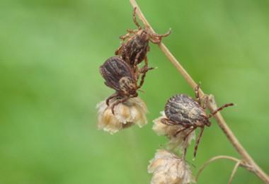 ticks-in-vegetation