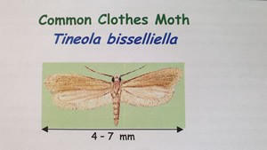 Common Clothes Moth Tineola bisselliella dimensions