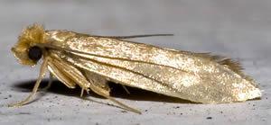 Common Clothes Moth Tineola bisselliella