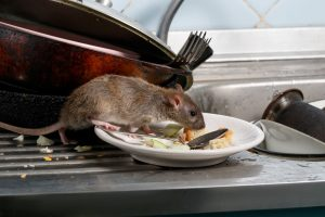 Rat in kitchen