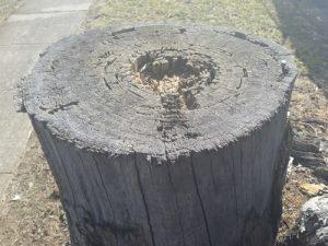 Tree stump termites Carlingford