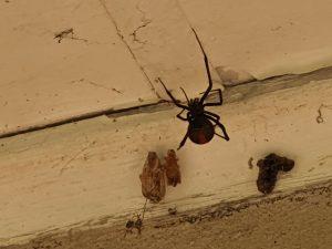spiders in Kenthurst