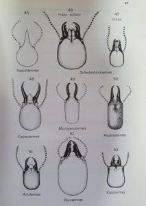 Termite Soldier Heads