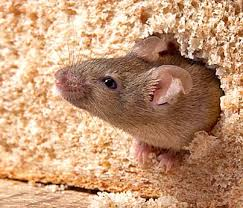 Rodent in bread