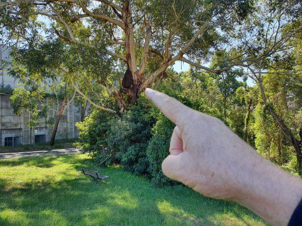 Aboreal Termite Nest